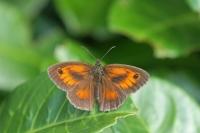 Oranje Zandoogje  – Pyronia tithonus(2)