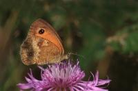 Oranje zandoogje – Pyronia tithonus(4)