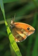 Oranje zandoogje – Pyroniatithonus