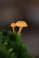 Oranjegeel trechtertje – Rickenella fibula(2)