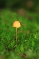 Oranjegeel trechtertje – Rickenella fibula(6)