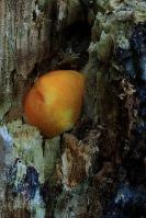 Oranjerode hertenzwam Arboretum 13-11-2014 169LW