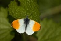 Oranjetipje man – Anthochariscardamines(2)