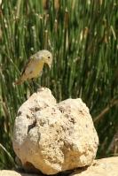 Orpheus spotvogel – Hippolaispolyglotta