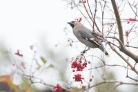 Pestvogel – Bombycillagarrulus