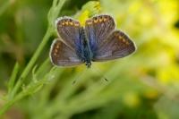 Pimpernelblauwtje  – Phengaristeleius