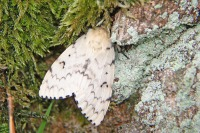 Plakker – Lymantriadispar