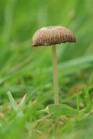 Plooirokje – Parasola plicatilis(2)