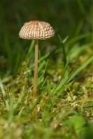 plooirokje-parasola-plicatilis041