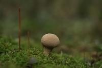 Plooivoet stuifzwam – Lycoperdon excipuliforme(3)