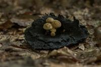 Poederzwamgast – Asterophora lycoperdoides – Powdery Piggyback mushroom(2)