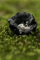 Poederzwamgast – Asterophora lycoperdoides – Powdery Piggybackmushroom
