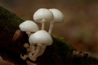 porseleinzwam-oudemansiella-mucida