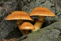 Pracht vlamhoed –  Gymnopilus junonius(1)