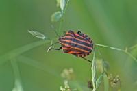 Pyama of Streepwants – Graphosomalineatum