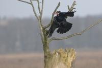 Raaf – Corvuscorax