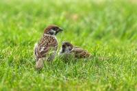 Ringmus met jong – Passer montanus(4)