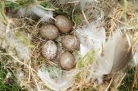 Ringmus verlaten nest – Passermontanus