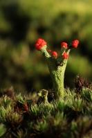 Rode heidelucifer – Cladonia floerkeana(2)