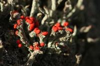 Rode heidelucifer – Cladonia floerkeana(5)
