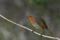 Roodborst – Erithacus rubecula(5)