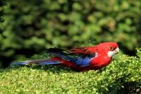 Rosellaparkiet – Adelaide rosella(2)