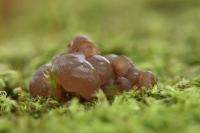 Roze knoopzwam – Neobulgariapura
