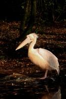 Roze pelikaan – Pelecanusonocrotalus