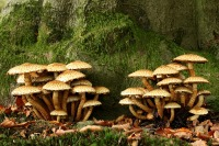 Schubbige bundelzwam –  Pholiota squarrosa(1)
