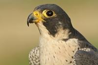 Slechtvalk – Falco peregrinus(2)