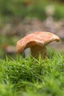 smakelijke-melkzwam-lactarius-delisiocus