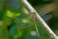 Smaragdlibel – Cordulia aenea(1)