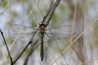 Smaragdlibel – Cordulia aenea(2)