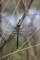 Smaragdlibel – Cordulia aenea(3)