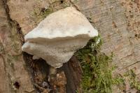 sneeuwwitte-kaaszwam-tyromyces-chioneus
