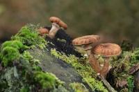 Sombere honingzwam – Armillaria ostoyae(5)