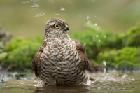 Sperwer in bad – Accipiternisus