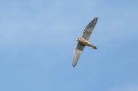 Sperwer in de vlucht – Accipiternisus