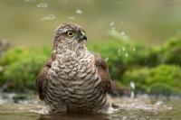 Sperwer man in bad – Accipiternisus