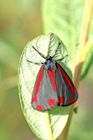 St Jacobsvlinder – Tyria jacobaeae(2)
