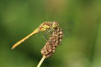 Steenrode heidelibel – Sympetrumvulgatum