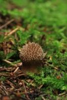 Stekelige stuifzwam – Lycoperdon echinatum(1)