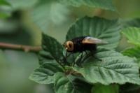 Stekelsluipvlieg – Tachinagrossa