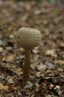 Stink parasolzwam – LepiotaCristata