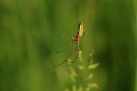Strekspin – Tetragnathidae