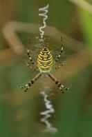Tijger of wespspin – Argiope bruennichi(2)