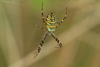 Tijger of wespspin  – Argiope bruennichi(3)