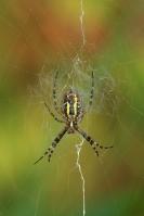 Tijger of wespspin  – Argiope bruennichi(4)