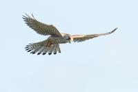 Torenvalk – Falco hinnunculus(4)