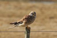 Torenvalk –  Falco tinnunculus(1)